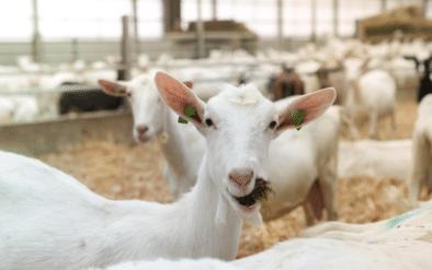 Happygoat - biologische geitenzuivel